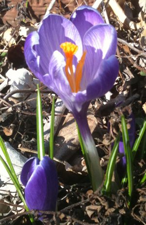Crocus Flower ushering Spring 2012