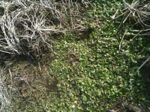 Watercress in the middle of brown winter grass.